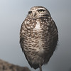 Burrowing Owl Sees the Light