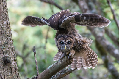 Northern Spotted Owl, Point Reyes National Seashore.