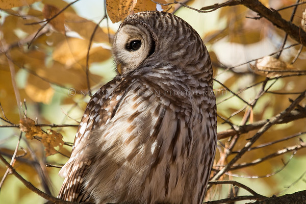 Barred Owl -2