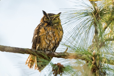 Great Horned Owl - Deltona, FL