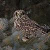 short earred owl                        6011 - Copy