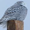 snowy owl    sm    27