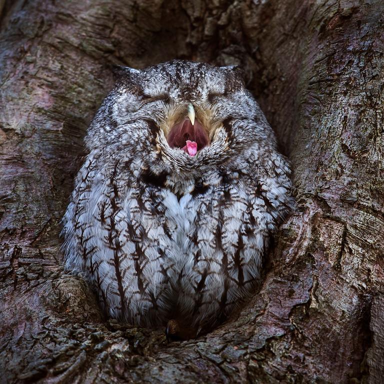 Eastern Screech owl waking up