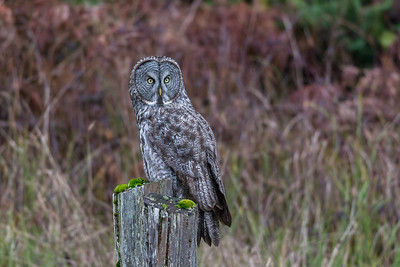 Great Grey Owl at Prairie Creek Redwoods National/State Parks.