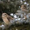 short earred owl                        9111 - Copy