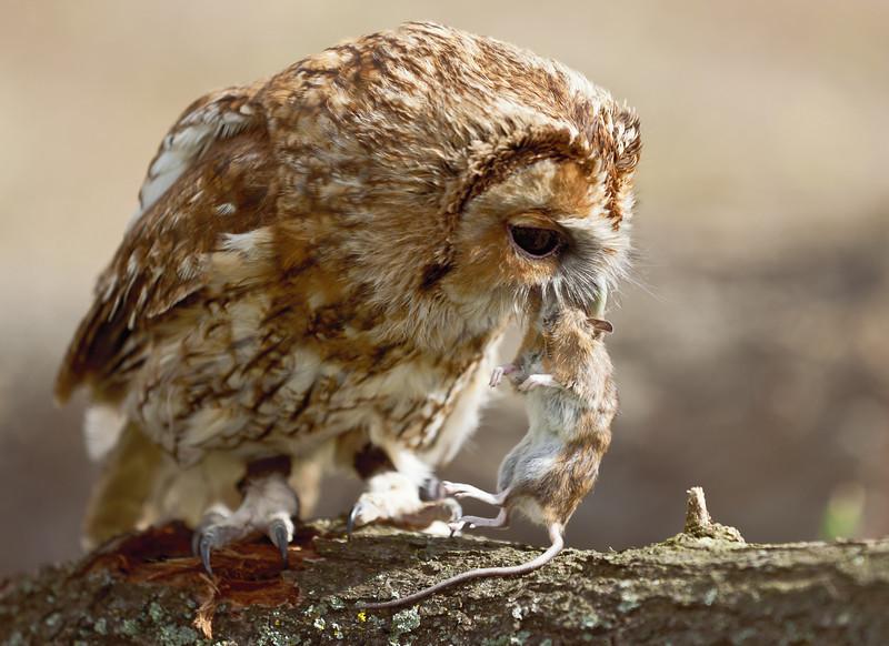 Tawny Owl with vole in beak