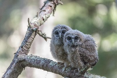 Northern Spotted Owl fledglings, Point Reyes National Seashore.