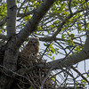 two owlets in the nest