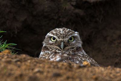 Burrowing Owl, Point Reyes National Seashore.