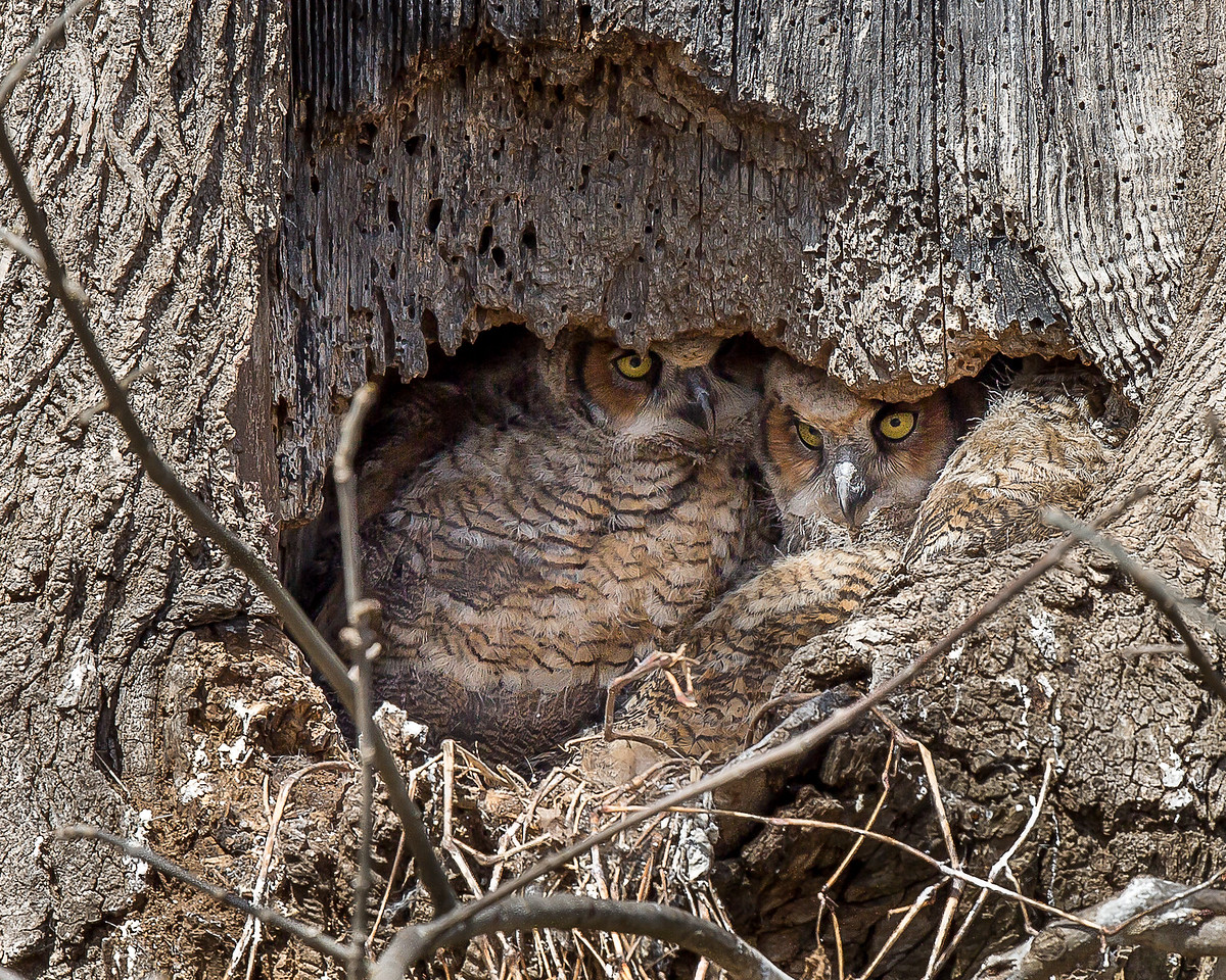 Great Horned Owlets