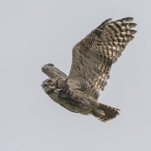 Great Horned Owl, Point Reyes National Seashore.