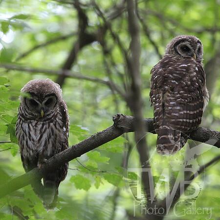 Barred Owl siblings in Queeny Park