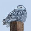 snowy owl    sm    40