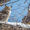 Great Horned Owl mated pair