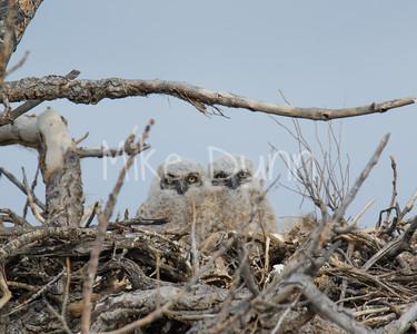 Great-Horned Owlet-4