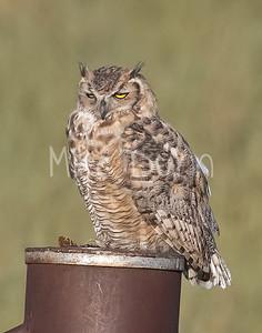 Great Horned Owl-32