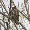 great horned owl           211sm