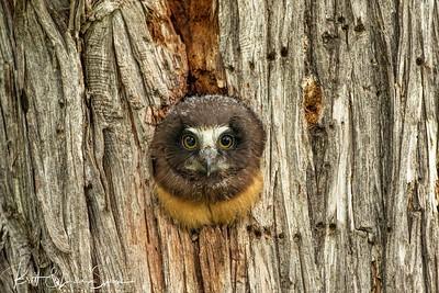 Saw-whet Owl (juvenile)