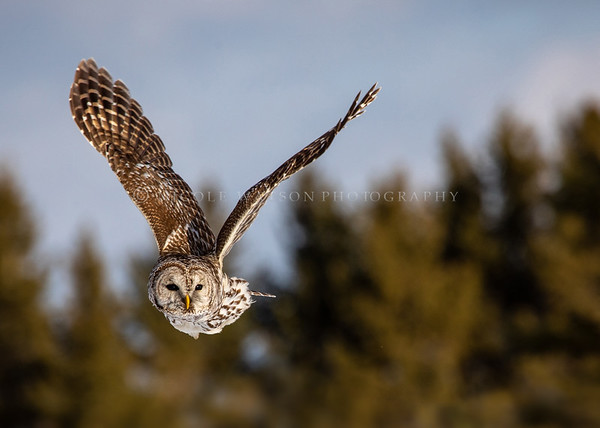 Barred Owl in flight - 9377