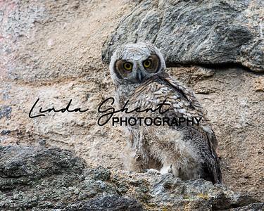 Owlet #2
