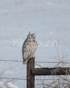 Great-Horned Owl-6