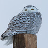 snowy owl   sm     59