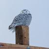 snowy owl   sm     61