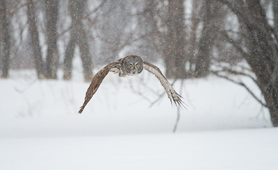 Great Gray Owl in Snowsquall