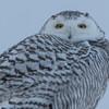 snowy owl    sm    37