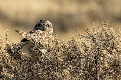 Short-eared Owl In the Evening Light