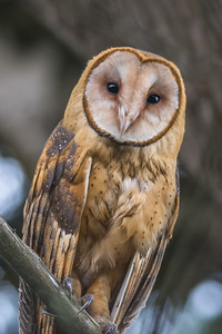 Barn Owl, Point Reyes National Seashore.