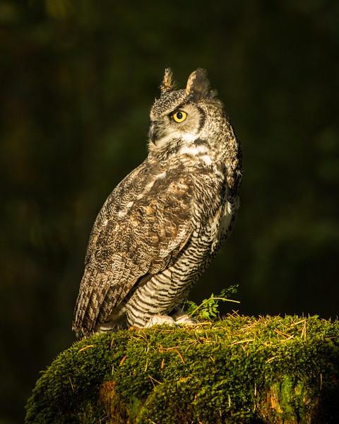 Great horned owl (Bubo virginianus),