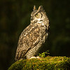 Great horned owl (Bubo virginianus),