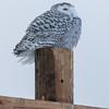 snowy owl    sm    56