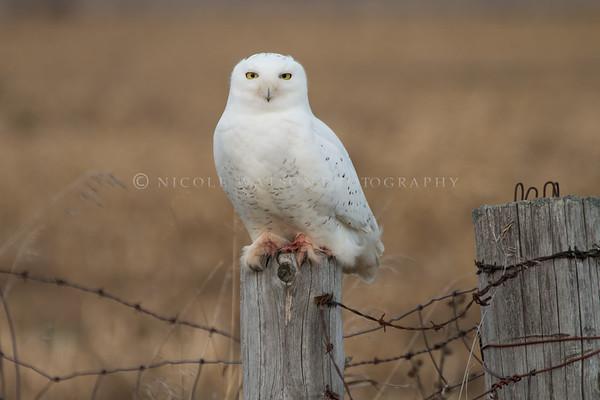 Snowy Owl - 2