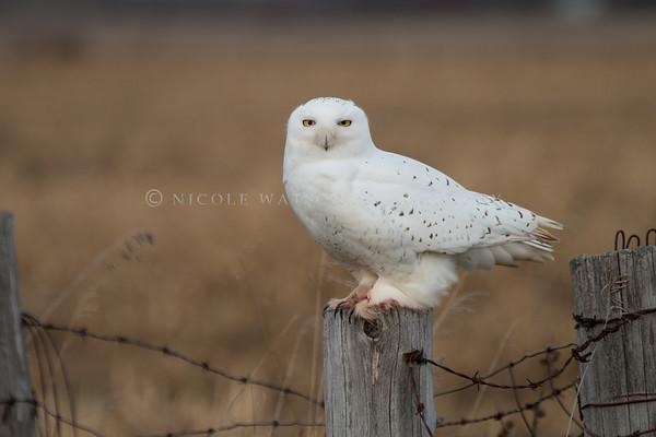 Snowy Owl - 1