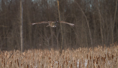 Great Gray Owl Flying Across a Marsh