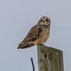 short eared owl            711a