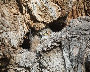 Great-Horned Owlet-9