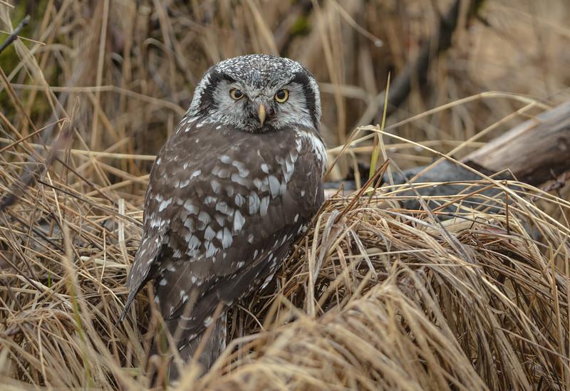 Northern Hawk Owl.