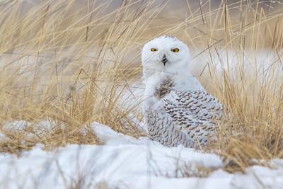 Snowy Owl Camo