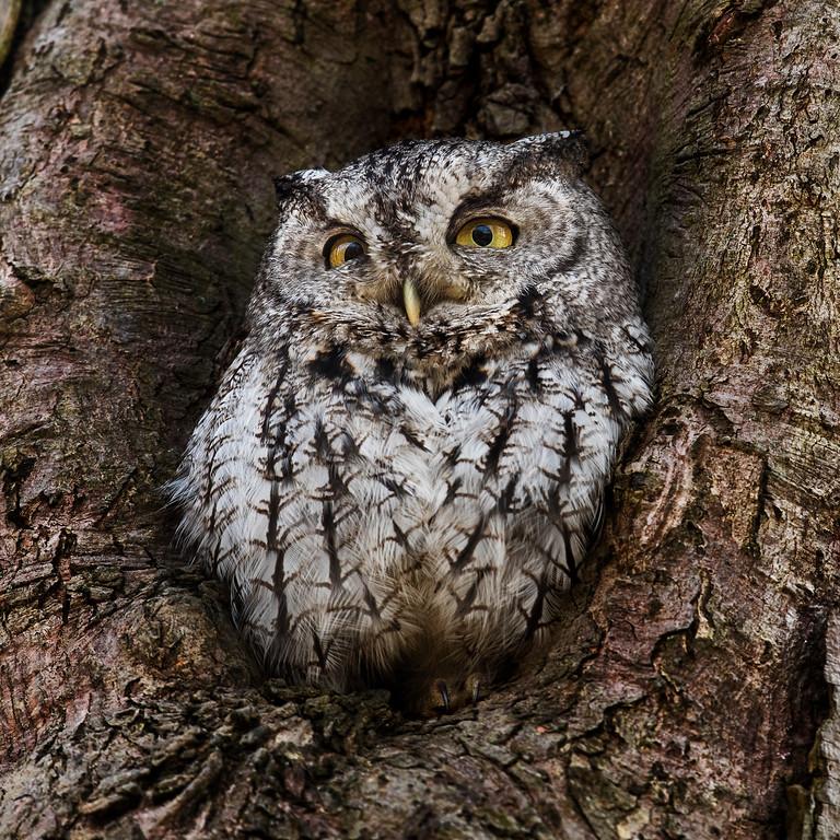 Eastern Screech Owl grey morph