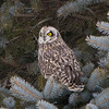 short earred owl                        10211