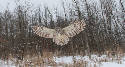 Barred Owl Hovering Over Marsh