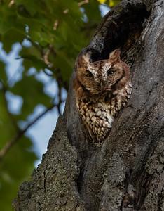 Eastern Screech-Owl (Rufous Morph)