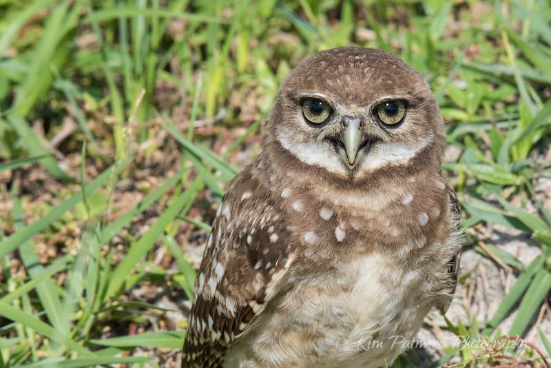 Burrowing Owlet