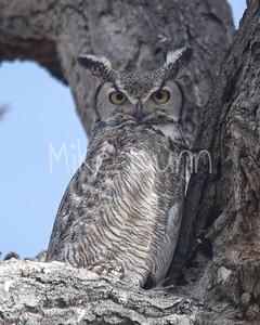 Great Horned Owl-22