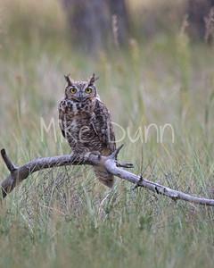 Great-Horned Owl-14