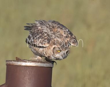Great Horned Owl-33