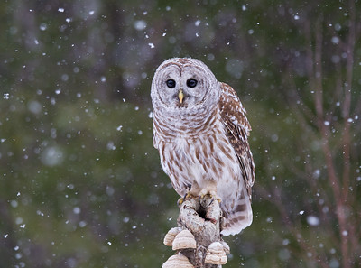Barred Owl in Snow Flurries